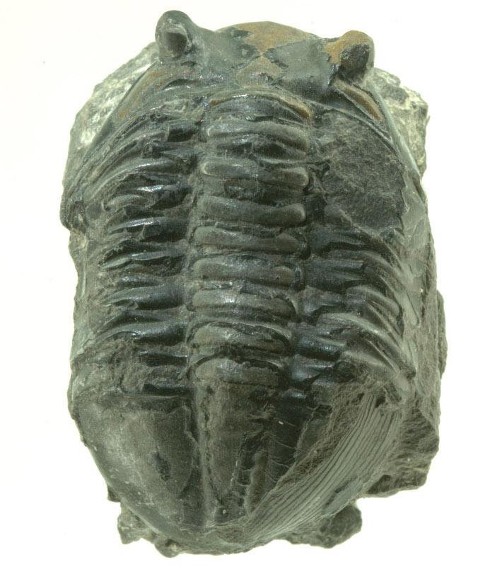 Trilobittene er blitt et ikon for den geologiske æraen paleozoikum. De hører med til leddyrene og består av et hodeskjold (cephalon) med øyne, et ryggskjold (thorax) med flere ledd, og et større eller mindre haleskjold (pygidium). Blant nålevende leddyr finner vi bl.a. krepsdyr (som hummer og krabbe), skorpioner, edderkopper og insekter. Her ser vi Asaphus fra ordovicium i Oslo. Foto: Per Aas, Naturhistorisk Museum, Universitetet i Oslo