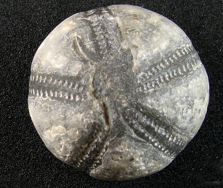 Femtallssymmetrien hos pigghudene, som på denne fossile kråkebollen, ble tillagt evner til å holde onde makter unna – og hindre at melken ble sur. Foto: Jan Stenløkk