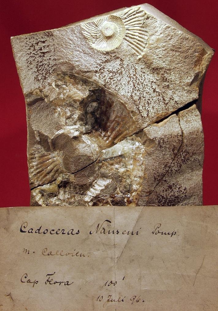 Cadoceras naseni - en fossil blekksprut (ammonitt) som Nansen brakte med seg fra Kapp Flora og som senere ble beskrevet av den tyske paleontologen J.F. Pompeckj. Dette var en tidligere ubeskrevet art, dvs. ny for vitenskapen, som Pompeckj valgte å kalle opp etter oppdageren Fridtjof Nansen. Foto: Hans Arne Nakrem, Naturhistorisk Museum, Oslo