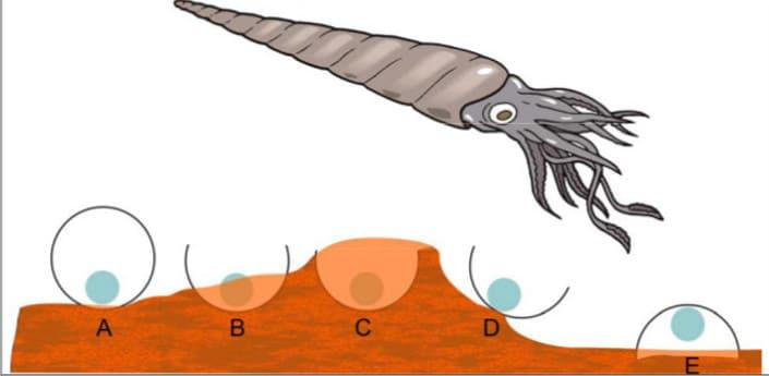 A: Tverrsnitt av et skall som ligger på sjøbunnen, med sifoen ned. B: Skallet er delvis begravet C: Den øvre, eksponerte delen av skallet løser seg opp etterhvert. D: Et innleiret skall løsner fra sjøbunnen og ruller rundt i strømmen. E: Et resedimentert skall har havnet opp-ned på sjøbunnen. Basert på en figur i Seilacher (1963, Neues Jahrbuch Geologie und Paläontologie, Monatshefte 11)
