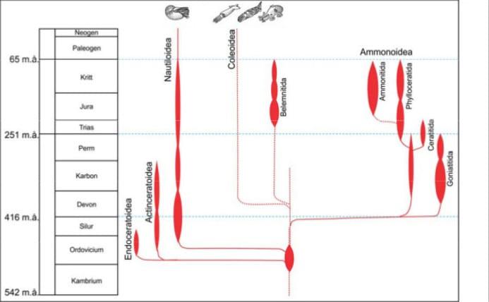 Utvalgte grupper av blekkspruter og deres evolusjon.