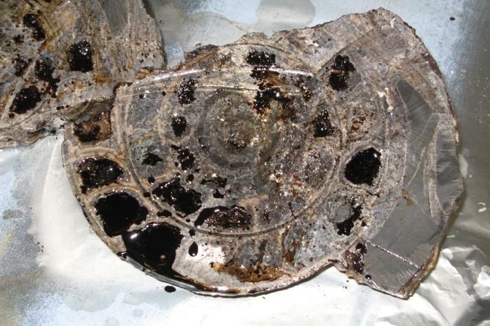 Den fossile blekkspruten (Aristoptychites trochleaeformis) lå dynket i et tynt lag med seig olje inne i den svarte skiferen (Botneheiaformasjonen). Fossilene viser at skiferen er avsatt tidlig i trias for om lag 240 millioner år siden. Illustrasjon: NGU