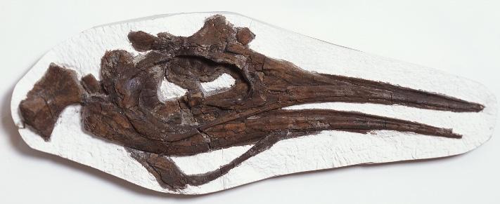 Komplett hodeskalle av en icthyosaur (fiskeøgle) fra øvre Kimmeridge Clay-formasjonen, Steve Etches samling. Skallen er 189 cm lang. Photo: Emile Ashley