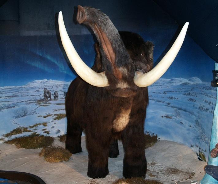 Det er ingen tvil om at det har levd mammut på norsk jord. Riktig nok har det ikke blitt avdekket skjeletter, men flere steder oppover Gudbrandsdalen har det blitt gjort funn av støttenner, senest (2008) i Myhre Grustak ved Fåvang. Denne mammuten, utstilt på Mammuthus på Vangsåsen ovenfor Hamar, er en kopi av en mammut fra Sibir, kledd i moskusskinn fra Grønland. Foto: Halfdan Carstens