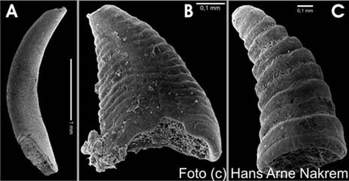 Mikrofossiler (bløtdyr?) fra kambrium (Oslofeltet); A: Torelella, B og C: Lapworthellider